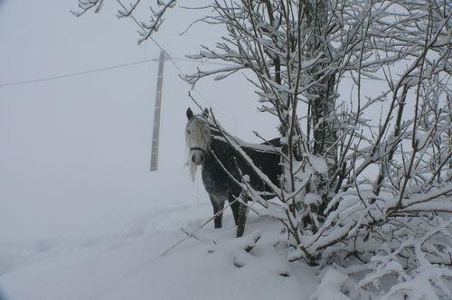 2008 12 15 Un cheval dans la neige