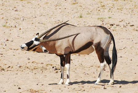 Gemsbok__d_sert_du_Namib__Namibie
