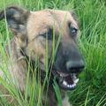 2008 08 25 Kapy qui se purge il mange de l'herbe