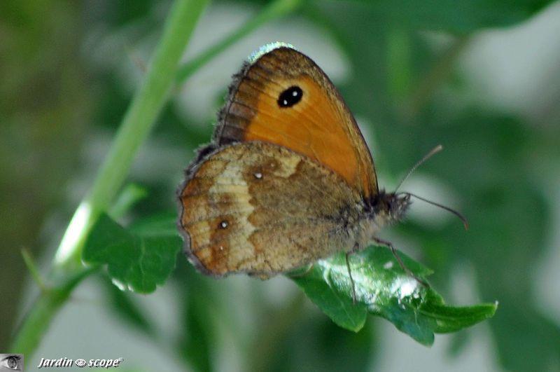 Ce papillon a une préférence pour les ronces et rosiers ...