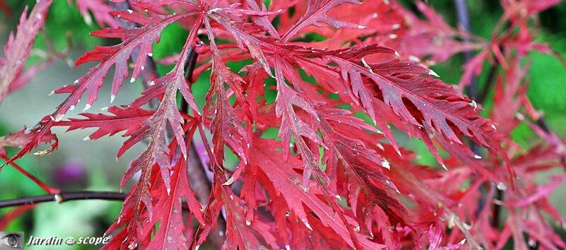 Couleur de l'Acer palmatum sublimée par l'automne