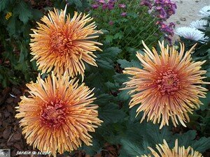 Chrysanthemes_8