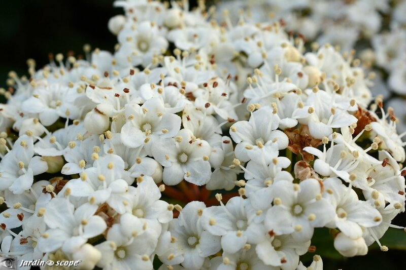 Fleurs de Laurier-Tin • Viburnum Tinus