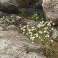 Saxifrage faux bryum