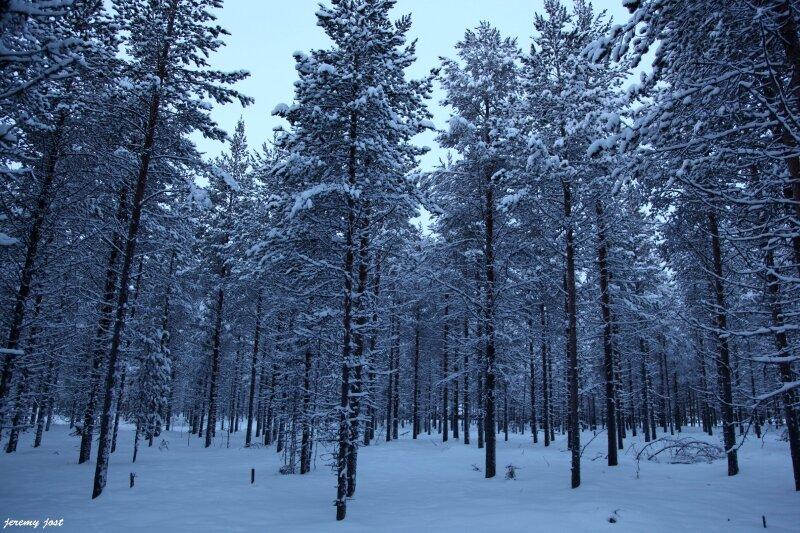 forêt lapone