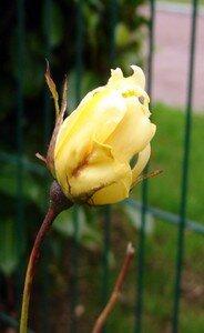 Au_jardin_Rosier_jaune