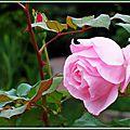 Rose rose et bouton