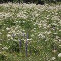 2009 06 29 Fleurs sauvages sur le shauteurs du Grand Veymont sur le point culminant du Vercors (18)