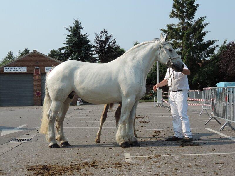 Tamara du Marais - 20 Juin 207 - Concours élevage local - Thérouanne (62) - 2e (Suitées de 10 ans et plus)