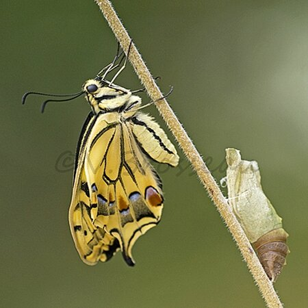 machaon008b3
