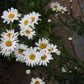 2009 07 24 Marguerite en fleur