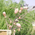Arbre à poteries. Cappadoce/Turquie