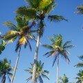 Cocoteraies sur ciel d'azur