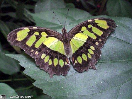 Siproeta steneles • Nymphalidae