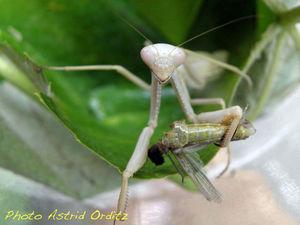 Mante religieuse • Mantis religiosa dévorant son mâle