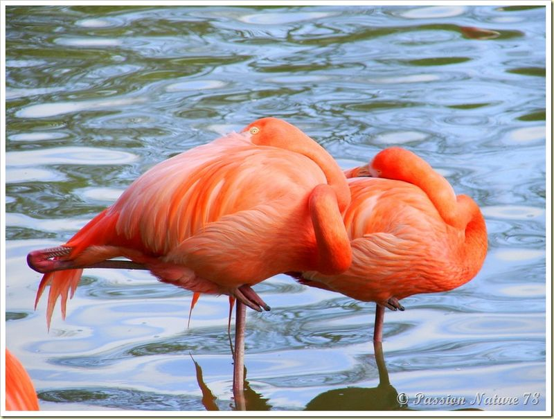 Les flamants roses (24)