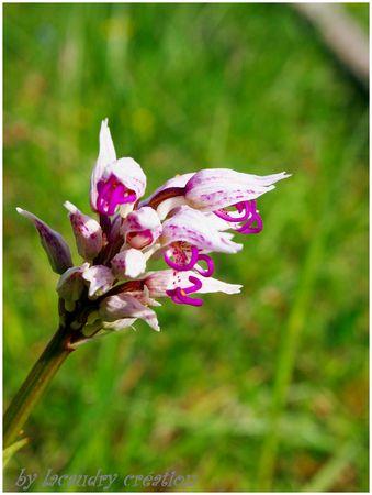 orchidée sauvage du lot au lacaudry