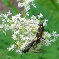 Macrophie rustique • Macrophya montana • famille des Tenthrenid