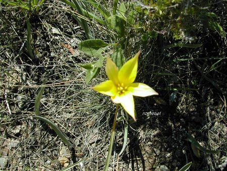 Tulipa_sylvestris_subsp