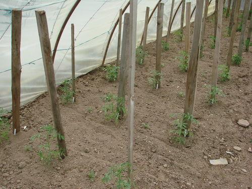 2008 05 13 Les tomates sous serre