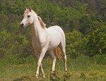cheval_blanc