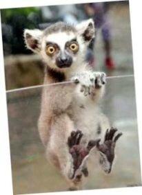 Petit Lémur