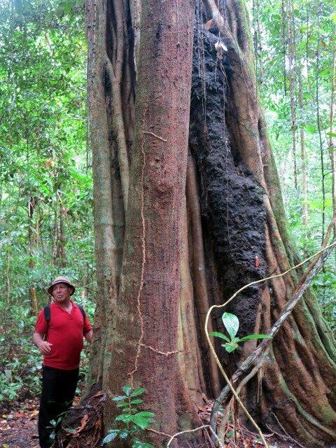 FLONA gros arbre