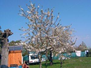 cerisiers_en_fleurs_et_linge_qui_s_che_dans_le_lointain_