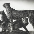 Nick brandt (british, born 1966), cheetah and cubs, masaai mara, 2003