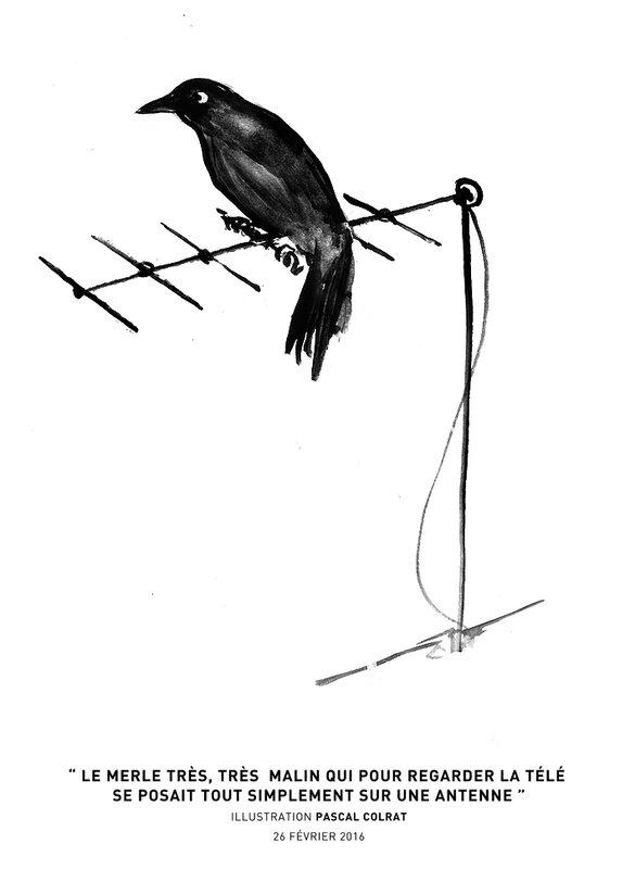 le merle tres tres malin qui pour regarder la télé se posait tout simple sur une antenne