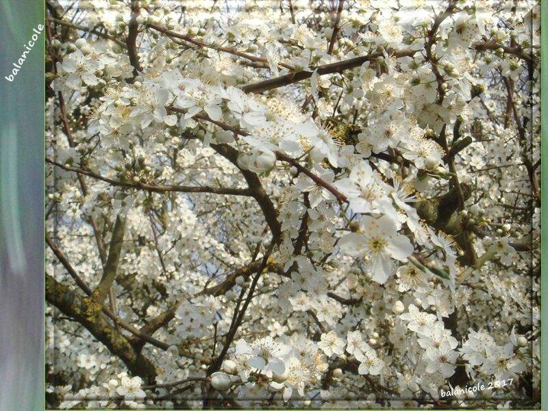 balanicole_2017_02_le printemps des arbustes_37_prunier