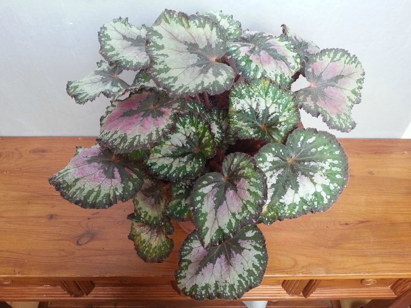 begonia rex photo de mes plantes d 39 int rieur la passion des plantes de mother of bryan. Black Bedroom Furniture Sets. Home Design Ideas