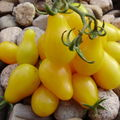 Tomate poire jaune 'Yellow Pearshaped'