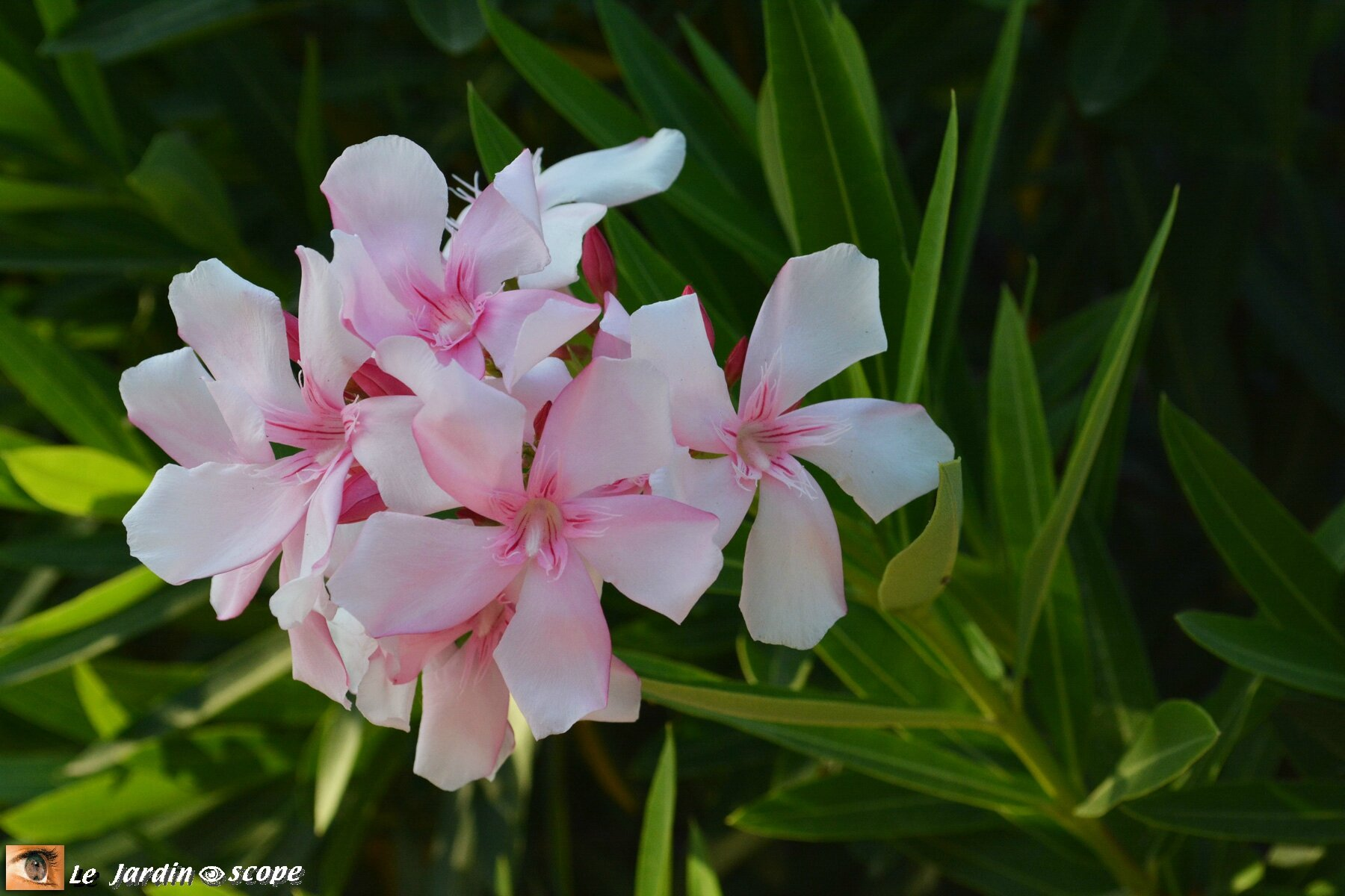 Nerium Oleander à fleurs rose-pâle veinées de rouge