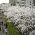 Edogawa-ku Hanami 2008 - 2 