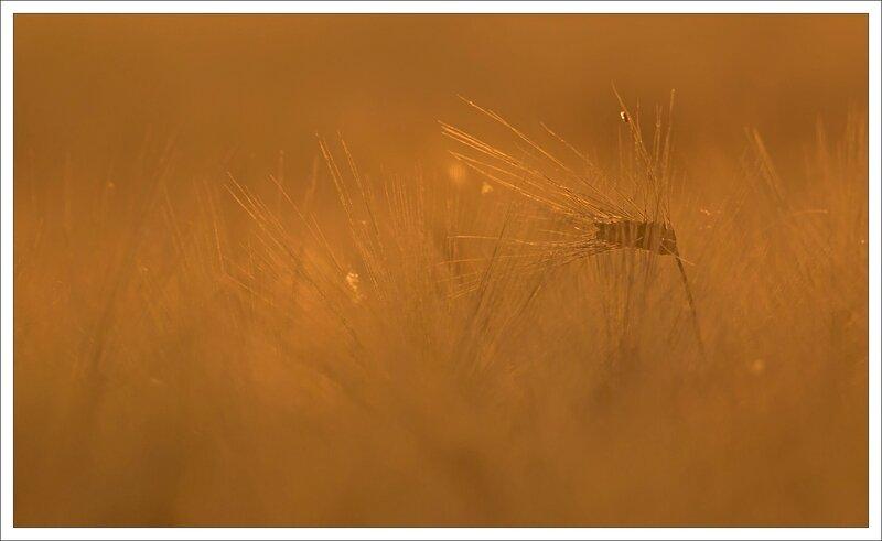 plaine blé soir 180513