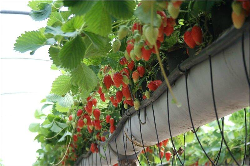 culture fraises-