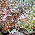 Rascasse brune (scorpaena porcus)