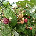 framboises - www.passionpotager.canalblog.com