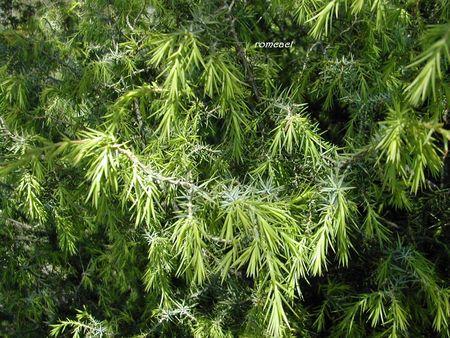 Juniperus_oxycedrus__2_