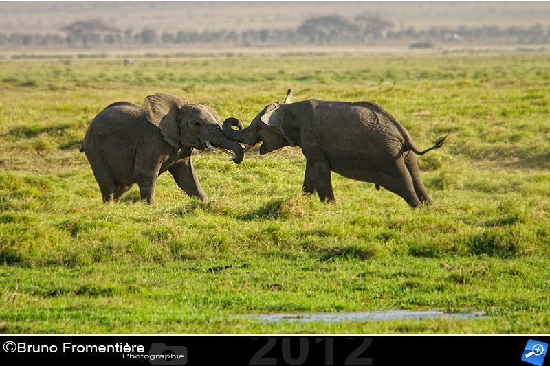 Elephants fighting 800 D