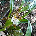 Aspasia variegata