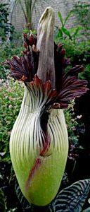 290px-398px-Titan_arum_752