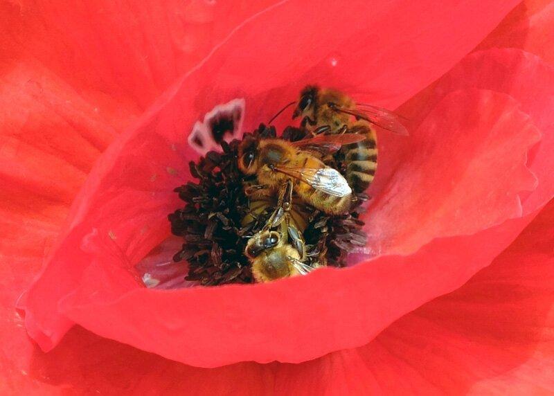 Le coquelicot attire particulierement les abeilles
