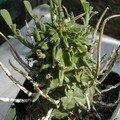 Euphorbia fasciculata