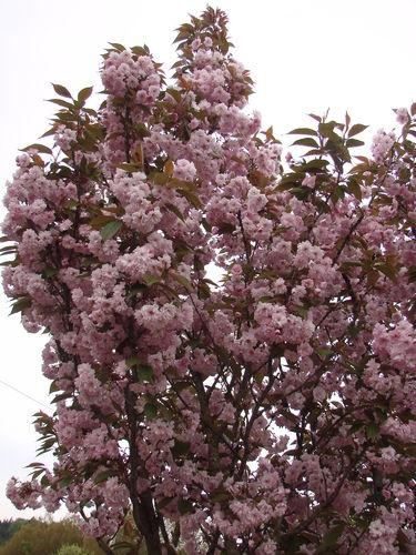 2008 05 14 Le cerisier d'ornement en fleur