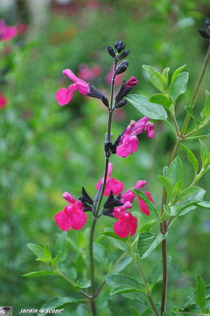 Salvia microphylla 'grahamii'