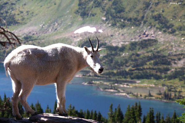 mountain goat hidden lake