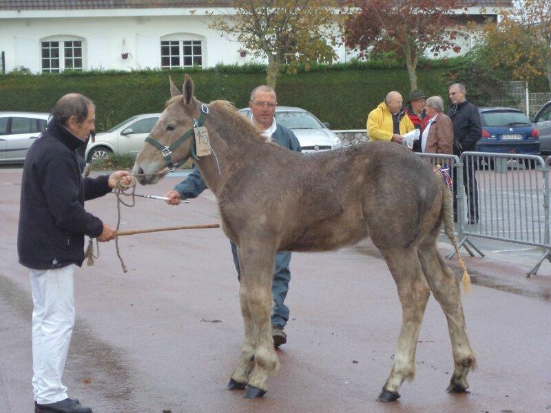 Echo du Marais - Concours de poulains - Marquise (62) - 15 Octobre 2014