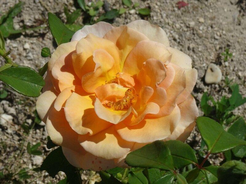 rosier malaga
